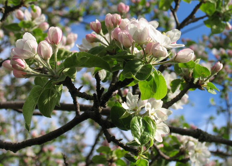 Apple Blossoms photo